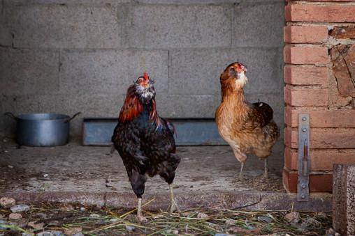 Foto di due polli di razza araucana