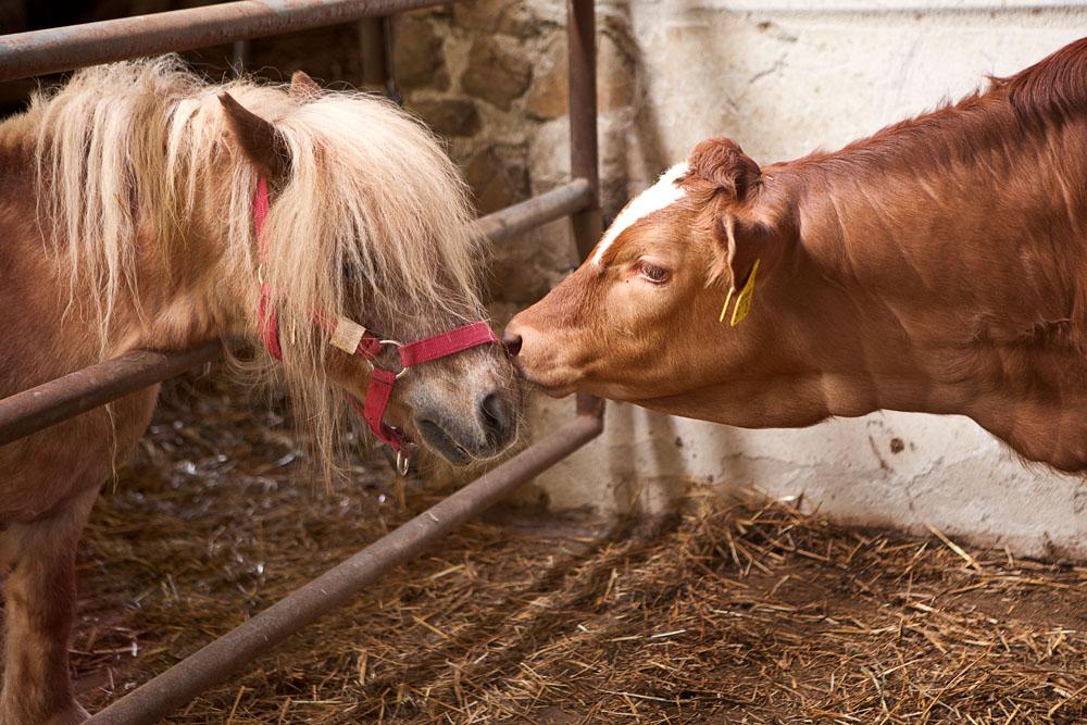 Foto di vitello e pony all'agriturismo Poggio Diavolino