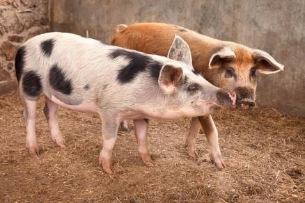Foto di due porcellini pezzati