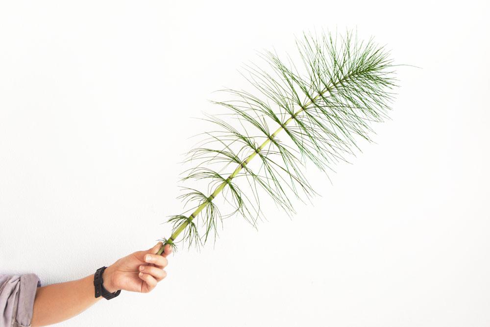 Foto di una pianta di equiseto